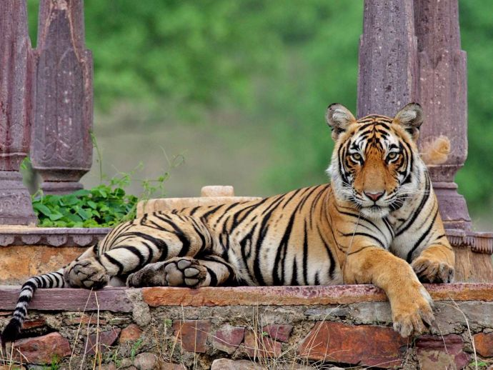 Brahmapuri Tigress, Tigress, Bori Gram Panchayat, Bor, Bori, Nagpur, nagpur news