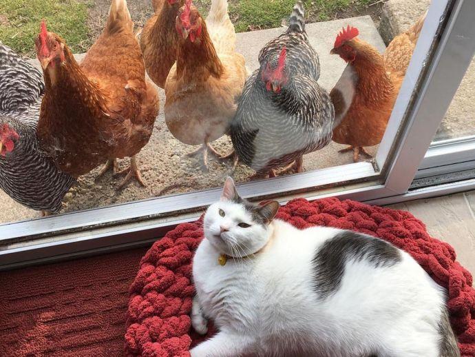 Cat, cat videos, chicken, instagram, Scruffles, videos, fatcat