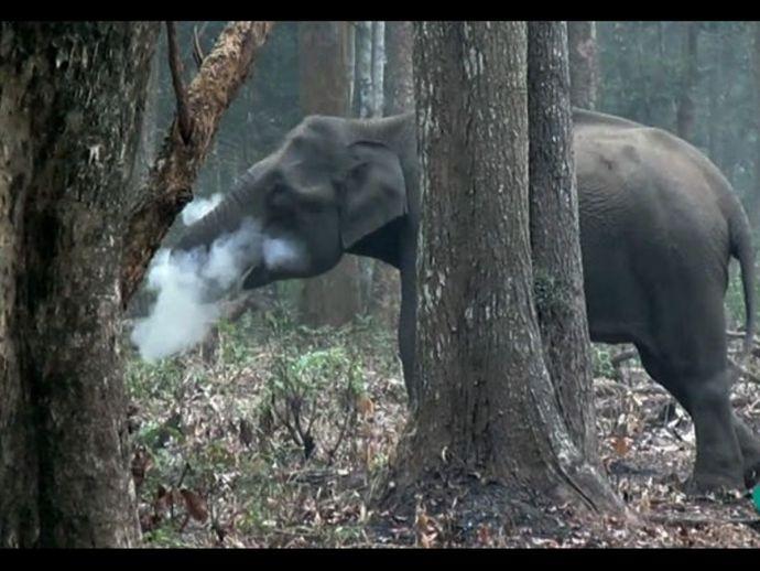 Smoking elephant, Nagarahole National Park, WCS, Wildlife conservation society, Karnataka, Vinay Kumar, Varun R Goswami, Srikanth Rao, The smoking elephant
