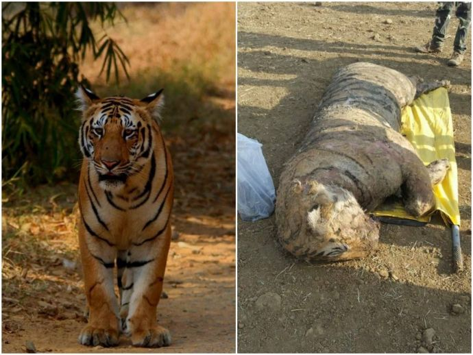 Jai Tiger, Son Electrocuted, Tiger, Jai the tiger, Srinivas the tiger, Maharashtra, tiger poaching, wildlife, conservation