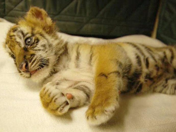 Bengal Tiger, Tiger, India, US, Mexico, endangered species, CBP, San Diego, California, Maryland, zoo, Tijuana