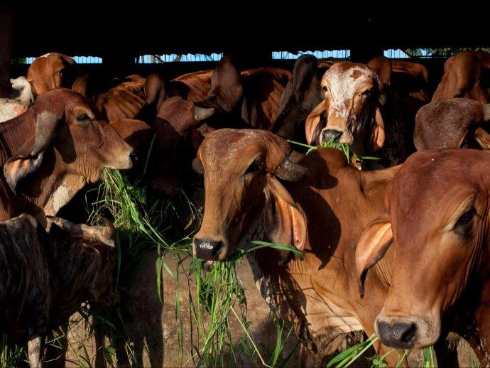 cow, santuary, Madhya Pradesh, Asia, Salaria, gaushala, Kamdhenu Gau Abhyaranya
