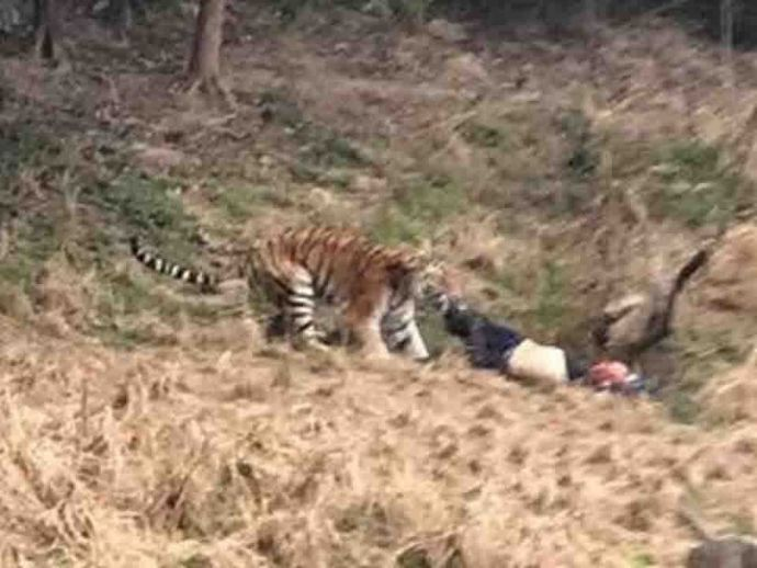 Three Tigers Mauls To Death, Mauls To Death, Tigers, China, Youngor Wildlife Park in Ningbo, eastern China, Death, Tourist
