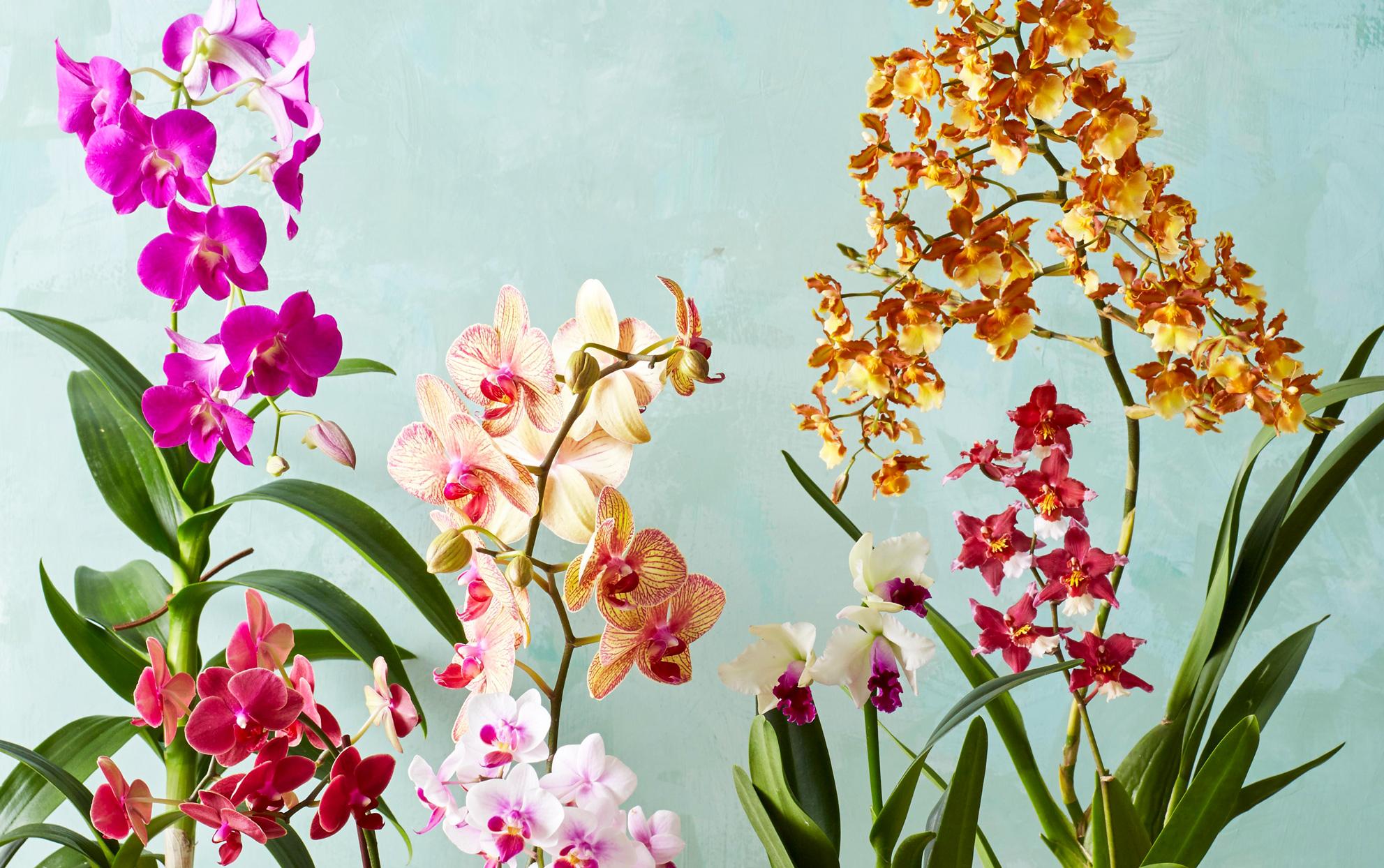 Bunga Anggrek sebagai Dekorasi di Rumah? Mengapa Tidak?!