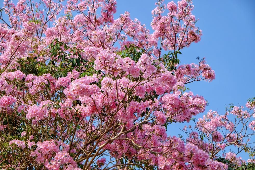 Bunga Tabebuya, Bawa Suasana ala Jepang ke Halaman Rumah