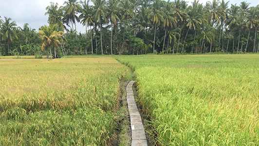 Free Walk of 10,000 Steps among the Rice Fields