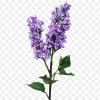 Lilac Zoldyck