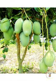 Fresh Amropali Mango (100 percent Formalin Free ) (5 KGs)