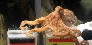 Psychic Octopus Japan FIFA World Cup NEws, FIFA World Cup 2018 News, Football NEws