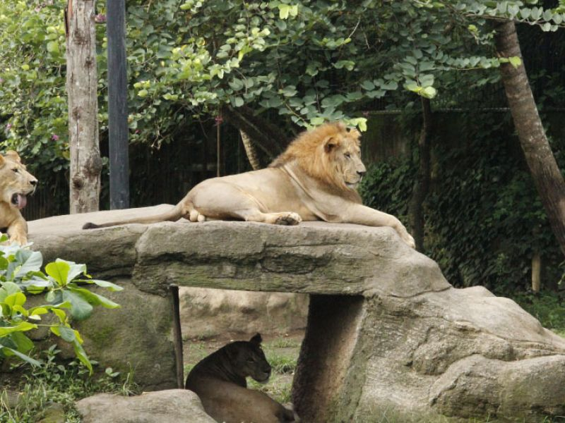 Lion Enclosure