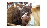 Cute Sphynx kittens available