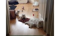 Blue eyes Persian kittens for adoption email:radoblanco@live.com