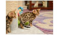 Gccf registered Bengal kittens
