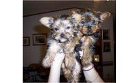 Purebred Tiny Teacup  Yorkie Puppies Text (609) 536-9707