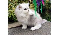 11 weeks old Persian Kittens