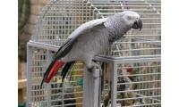 Cute & Gorgeous Congo African Grey Parrots.