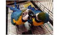 Hyacinth Macaw Eating Need Homes