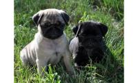 Beautiful Pug puppies ready now.