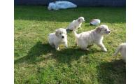 Beautiful golden retriever puppies for sale.