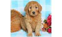 Adorable and lovely Goldendoodle puppies