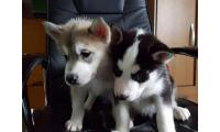 Blue eye Siberian Husky Puppies for sale