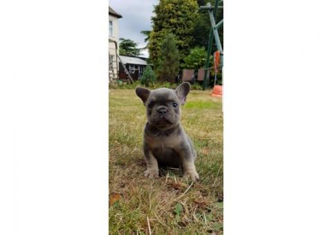 French Bulldog Puppies Available..