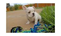 French Bulldog Puppies CKC Registered