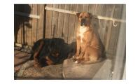 Male and female Rottweiler puppies for pet lovers