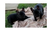 Gorgeous French Bulldog Puppies