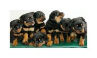 Rottweiler Puppies, Available For X-mas Gifts