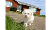 AMAZING AND Playful & FRIENDLY @@Maltese@@ PUPPY @@