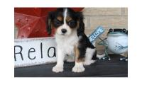 Well Socialized Cavalier King Charles Puppies Available For Lovely Homes