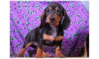 Lovely Male and Female Miniature Dachshund Puppies For Lovely Homes
