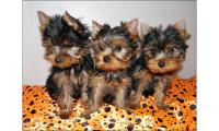 Gorgeous Teacup Yorkie Puppies Available Text us @ (804) 818-6065