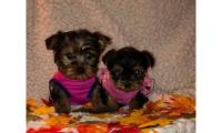 Darling Yorkie Puppies For Adoption Text (443) 990 x 18 14