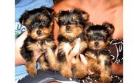 Charming T-Cup Yorkie puppies Available for sale