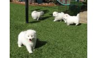 Japanese spitz puppies now ready for sale