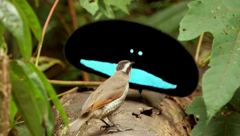 Burung Dewata-binatang imut