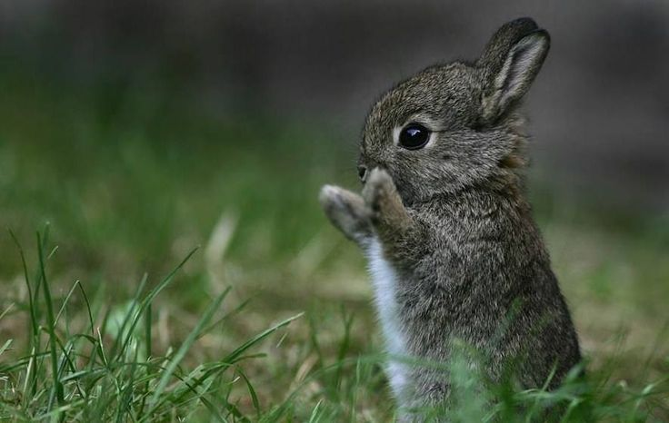 Pygmy-Rabbit-binatang imut