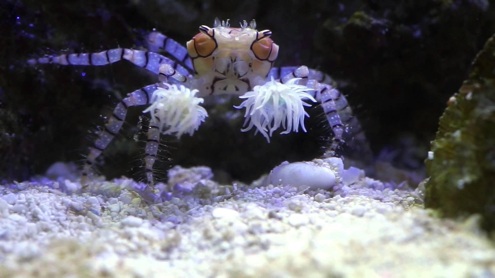 kepiting pom-pom-binatang imut