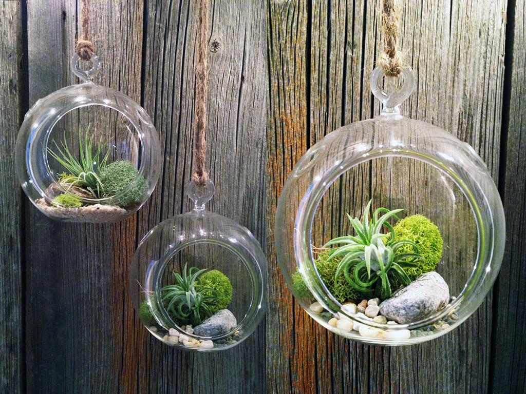 Cây không khí - ý tưởng kinh doanh cây cảnh