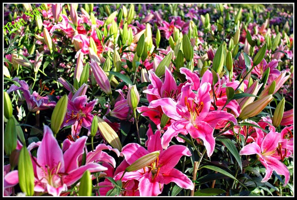 Hoa Ly Đà Lạt là 1 loại hoa đẹp, thơm mát và tươi lâu