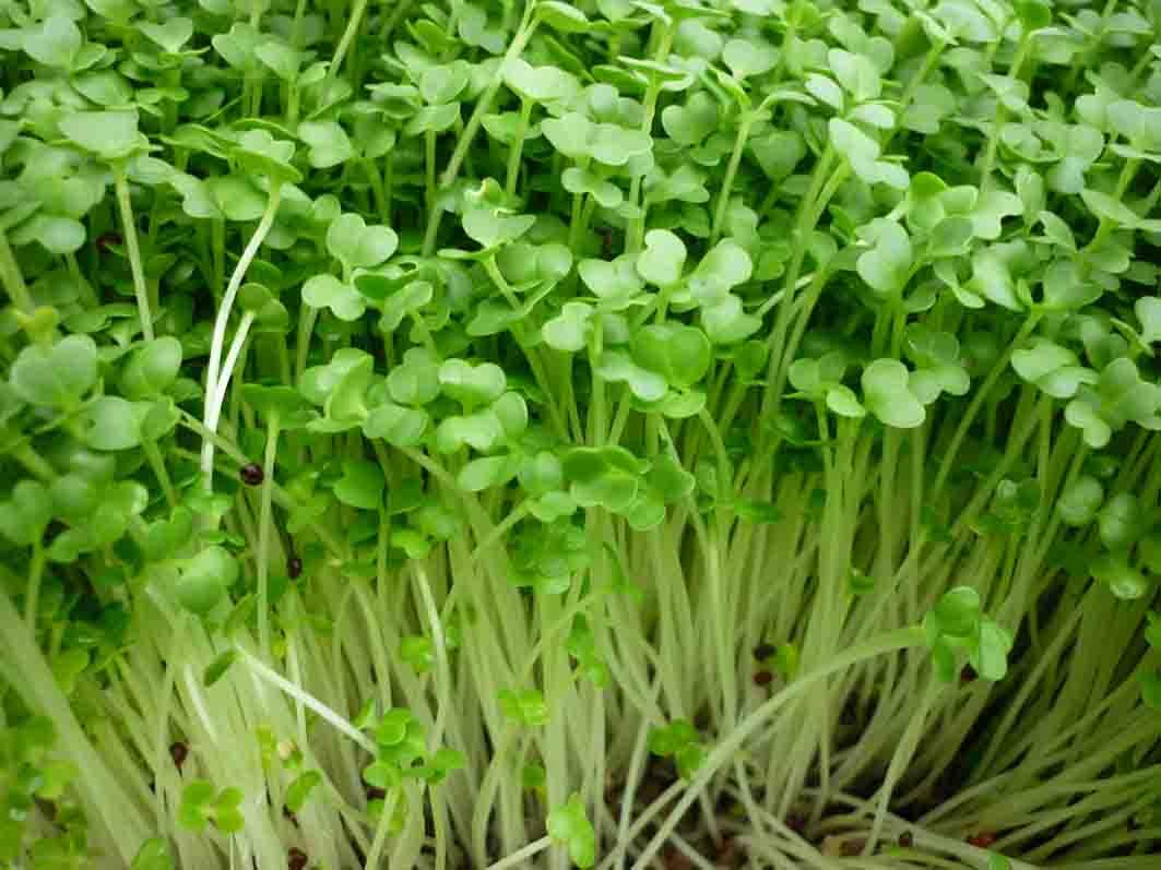 Lưu ý khi trồng và thực hiện ý tưởng kinh doanh rau mầm tại nhà