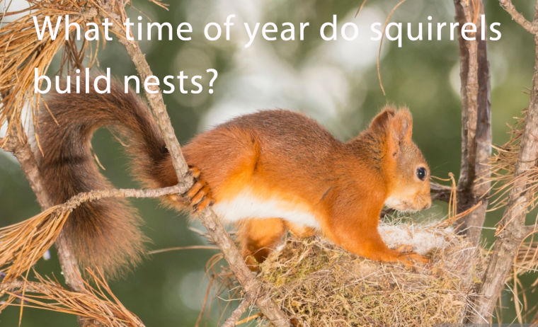 What_time_of_year_do_squirrels_build_nests1538028815.jpg image