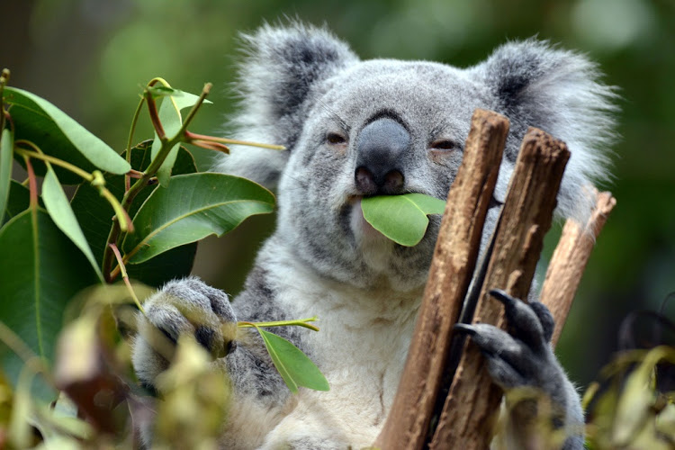 Which_animal_exclusively_eat_only_eucalyptus_leaves_and_nothing_else1537791367.jpg image