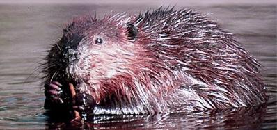 beaver_water1531199458.jpg image