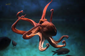 how_many_tentacles_does_an_octopus_have1546856090.jpg image