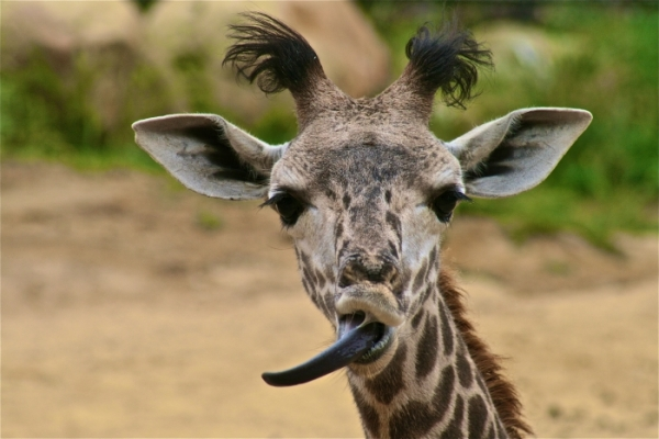 what_color_is_a_giraffes_tongue1545024284.JPG image