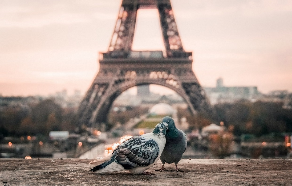 two little pigeon wallpaper background by ulauncher