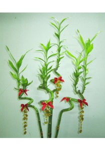 Real Lucky Curly Bamboo 10 Sticks CNY Plants Decoration - 80 cm Height
